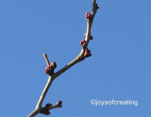 Japanese Red Bud Tree