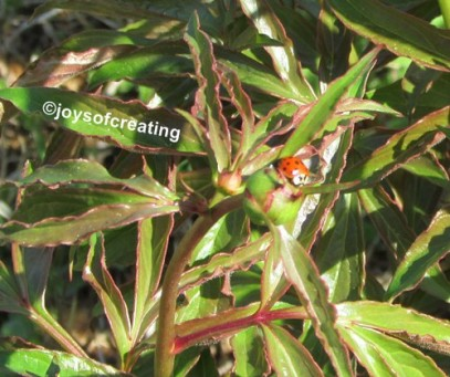 Ladybug feeding on a peony