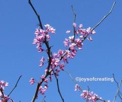 Oriental Redbud blooms