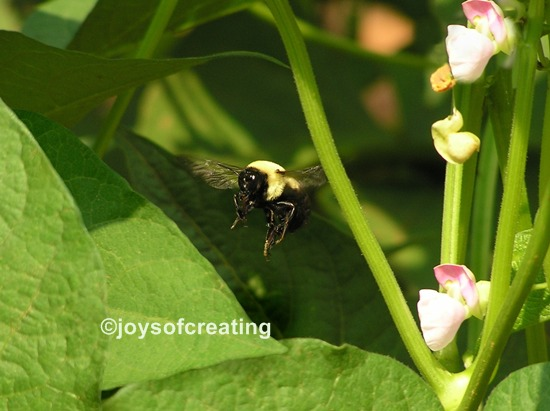 Bumblebee 2008