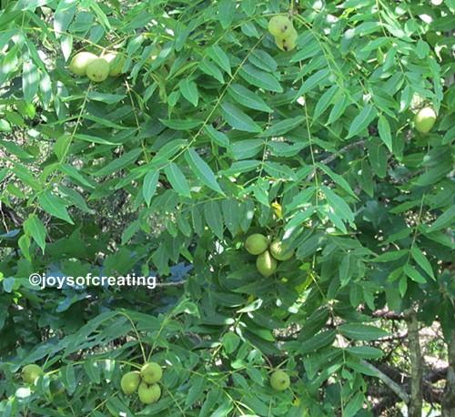 walnut-IMG_4727