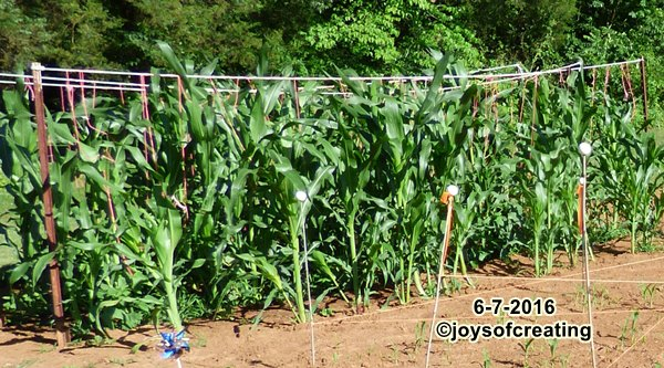 cornbean2