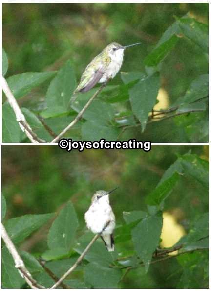 8-18-2016-hummingbird