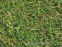 There's gazillions of these tiny Summer Bluets carpeting our area