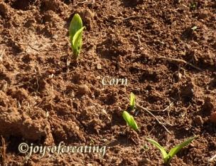 4-27-2020-corn