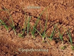 4-27-2020-onions
