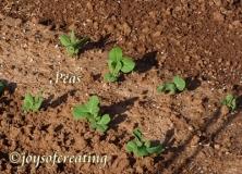 4-27-2020-peas