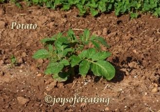 4-27-2020-potato